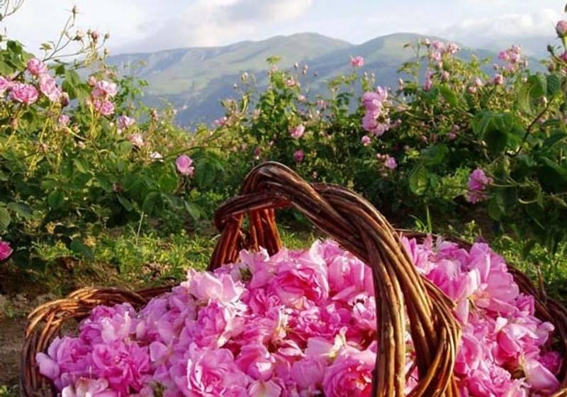 Badger Damascena Rose Ansiktsolje 29,5 ml